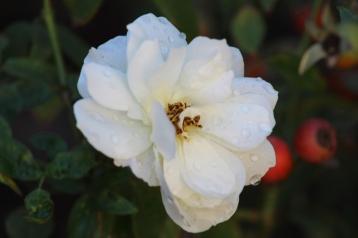 Santa Ana Flower